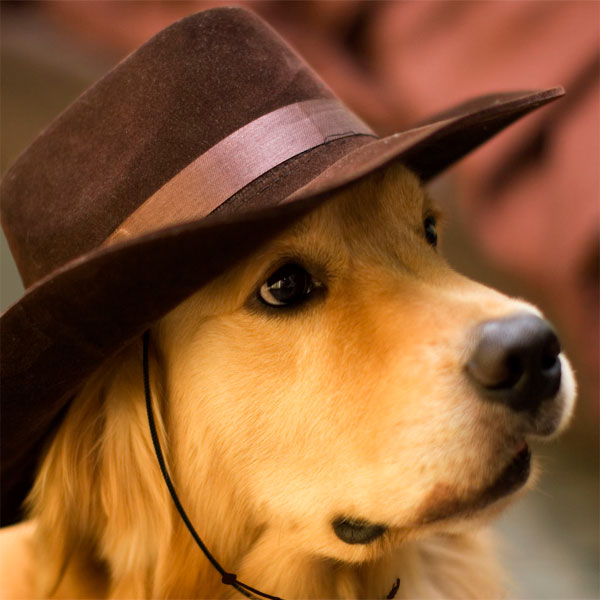 Golden retriever with hat and Capsurz® under chin